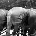The Horses Of Mackinac Island Michigan 03 Bw by Thomas Woolworth