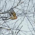 The House Finch In-flight by Asbed Iskedjian
