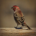 The House Finch by Janice Pariza