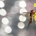 The Hoverfly by Odon Czintos