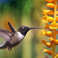 The Hummingbird And The Bee by William Freebilly photography