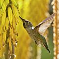 The Hummingbird And The Yellow Aloe  by Saija Lehtonen