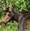 The Hungry Moose by David Porteus