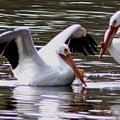 The Impressive Landing Pelican by Laura Birr Brown