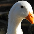 The Injured Duck by Mark Esparza