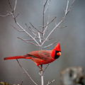 The Inquiring Cardinal by Jeff Phillippi