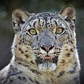 The Intense Stare Of A Snow Leopard by Jim Fitzpatrick