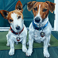 The Jack Russel Duo by Alexandra Cech
