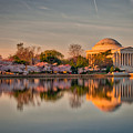 The Jefferson Memorial And Cherry Trees In Bloom by Mark Dodd