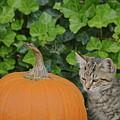 The Kitten And The Pumpkin by Susan Ballard