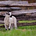 The Lamb by Buddy Scott