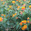 The Lantana In The Near 20 by Laura Martin
