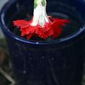 The Last Carnation by Jez C Self