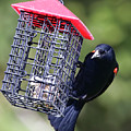 The Last Of The Suet by Phill Doherty