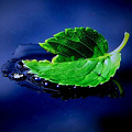 The Leaf by Karen Scovill