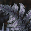 The Leaf Of A Japanese Painted Fern by Stephen Alvarez