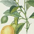 The Lemon Tree by Pierre Jean Francois Turpin