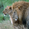 The Lion And His Lioness by Sandra Bronstein