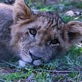 The Lion Cub by CJ Park