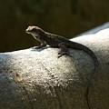 The Lone Lizard by Amanda Vouglas