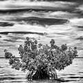 The Lone Mangrove by Susan Pantuso