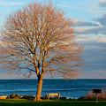 The Lone Maple Tree by Nancy De Flon