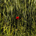 The Loneliness Of A Poppy by Riccardo Maffioli