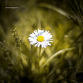The Lonely Daisy by Stwayne Keubrick