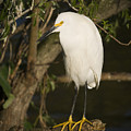 The Lonely Snowy Egret by Chad Davis