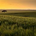 The Lonely Tree, Israel Landscape by Nir Ben-Yosef