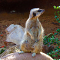 The Lookout - Meerkat by Tracey Everington