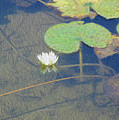 The Lotus by Leah Mealing