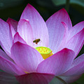 The Lotus by Son Truong