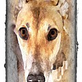 The Loving Eyes Of A Greyhound by Terry Mulligan