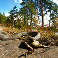 The Lunch Of Grass Snake by Jouko Lehto