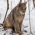 The Lynx by Linda Ryma