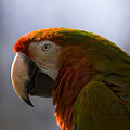 The Macaw Portrait by Angel Ciesniarska