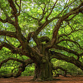 The Magical Angel Oak Tree Panorama  by Michael Ver Sprill