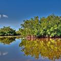 The Mangrove Coast by Rich Leighton