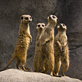 The Meerkat Four by Chad Davis