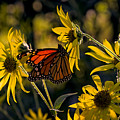 The Monarch And The Sunflower by Rick Berk