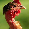 The Noble Transylvanian Naked Neck Chicken In Profile by Grant Groberg