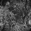 The Oak by Douglas Craig