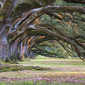 The Oaks Of Oak Alley Plantation by Mitch Spence