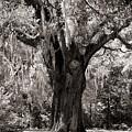 The Old Oak Is Still Standing by Susanne Van Hulst