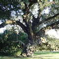 The Old Oak Tree by Richard Marcus