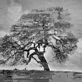 The Old Oak Tree Standing Alone  by Gull G