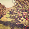 The Orchard by Lisa Russo