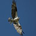 The Osprey by Ernie Echols