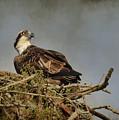 The Osprey Nest by Steve McKinzie